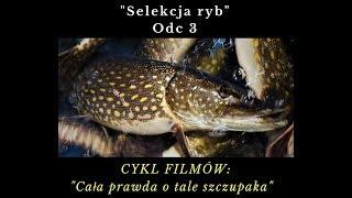 """TARŁO SZCZUPAKA Odc.3 """"Selekcja ryb"""""""