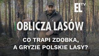 Co trapi Zdobka, a gryzie polskie lasy? | Oblicza lasów #90