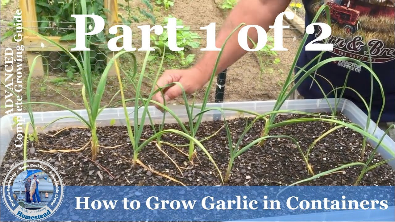 How To Grow Garlic In Containers Youtube