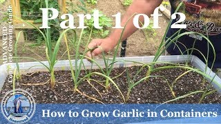 HD How to Grow Garlic in Containers