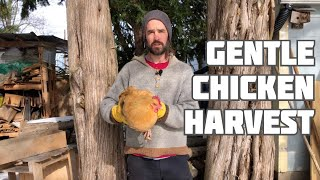 Chicken Harvest - Gentle and Careful (Warning: we show the process)