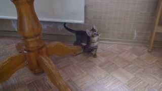Тойгер котята - комнатные тигрята