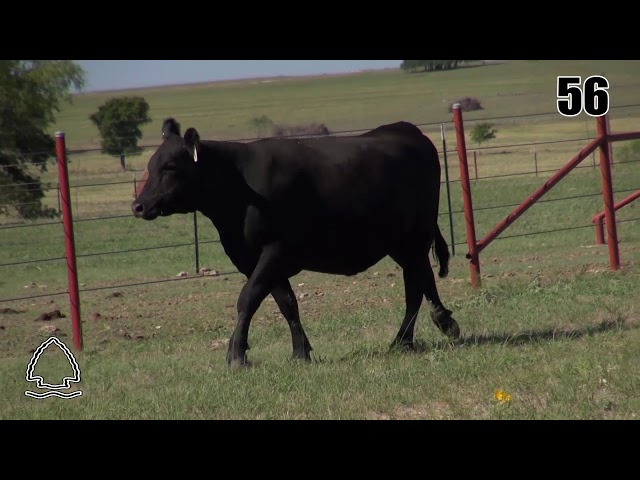Pearcy Angus Ranch Lot 56