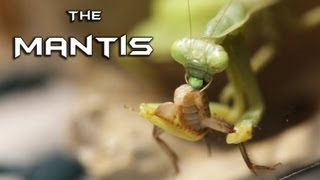 PRAYING MANTIS vs. CRICKET ARMY (MACRO 1080p HD) - WARNING: Insect Carnage!!!