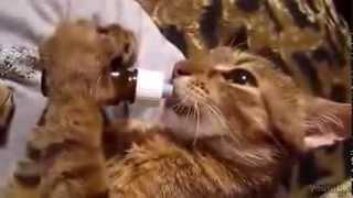 Очень голодный маленький котенок