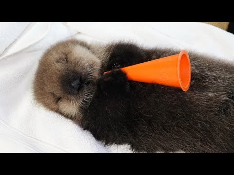 Baby Sea Otter Joey Live From His Nursery