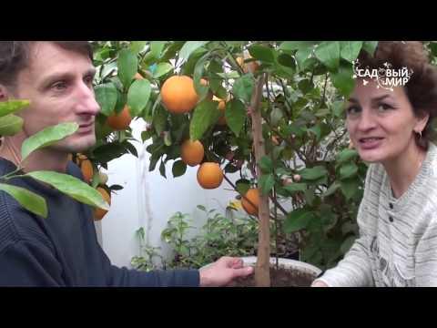 """Апельсины в кадочной культуре. Сайт """"Садовый мир"""""""