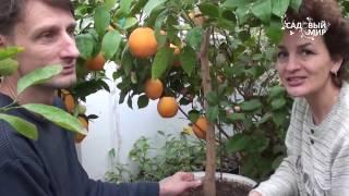 Апельсины в кадочной культуре. Сайт