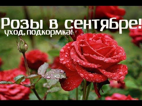 Как ухаживать за розами осенью подготовка