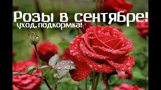 Обязательно сделайте это в сентябре с розами!  Чем подкормить розы в сентябре и осенью?