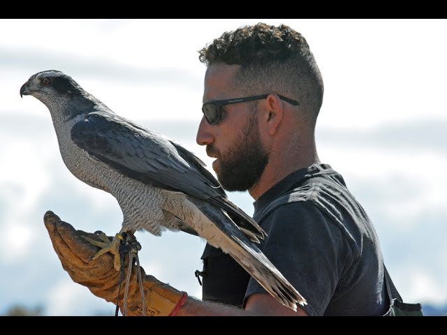 Imprinting, Hacking and Hunting a NA Goshawk for Falconry