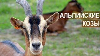 Разведение и содержание коз Альпийской породы в хозяйстве Былинкино