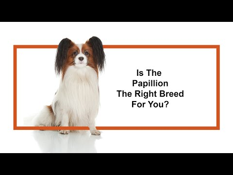 Everything Puppies - Papillon Breed Information (2019)