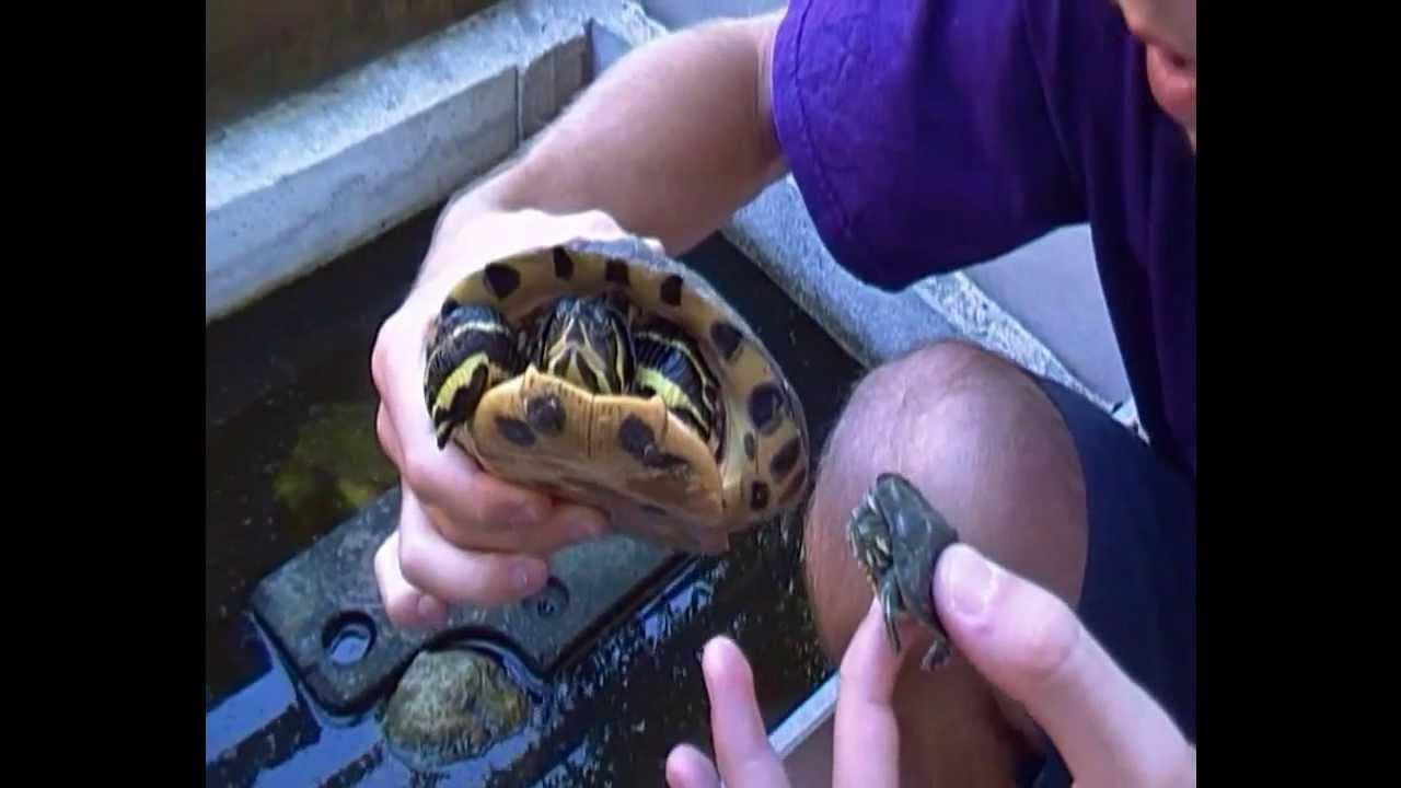 Missione rettile le tartarughe aliene trachemys for I gatti mangiano le tartarughe