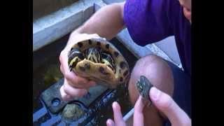 """Missione Rettile: Le tartarughe """" aliene """" ( Trachemys scripta scripta )"""