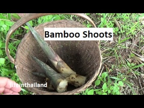 Bamboo Shoots, harvest, clean, cook, and the taste test.