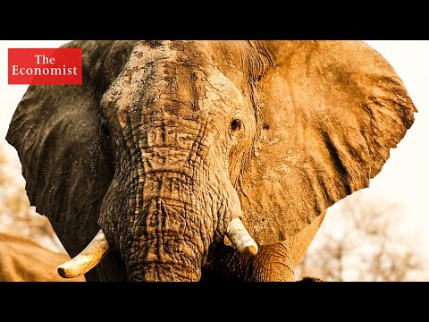 African elephants could be saved through science | The Economist