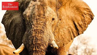 How to stop the ivory trade The Economist