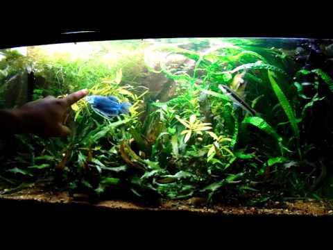 Akvarisztika kezdőknek 5 (Túltelepített akvárium)