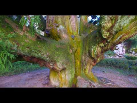 Kuliang, Fuzhou, China - Ancient King Cyprus Tree Part 1