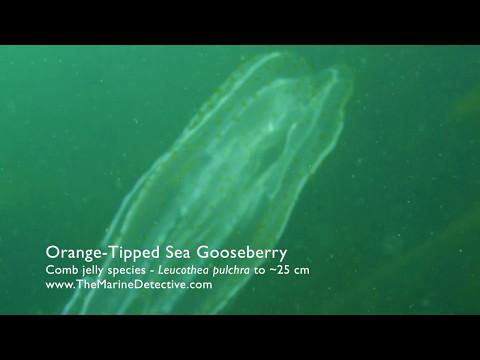 Orange-Tipped Sea Gooseberry