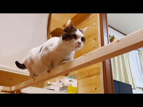 平均台で体幹を鍛える猫