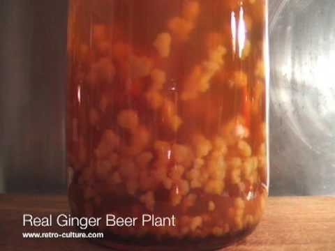 Real Ginger Beer Plant - YouTube