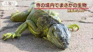 """体長1m""""グリーンイグアナ""""発見 なぜ寺の境内に?(15/12/18) thumbnail"""