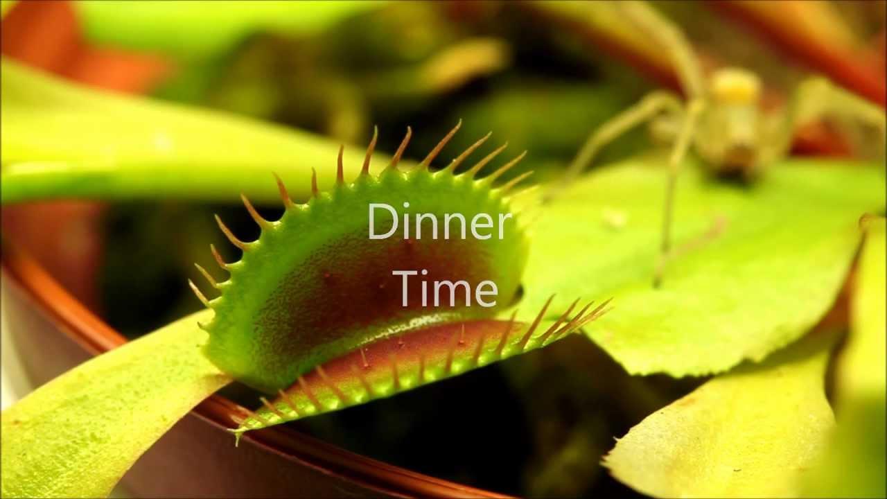 Insect Flesh Eater The Carnivorous Venus Flytrap Versus