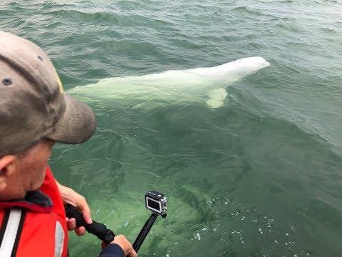 Beluga Whales of Hudson Bay