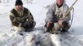 Охота на зайца 2020 год в январе Охота с эстонской гончей Рядом с угольным разрезом