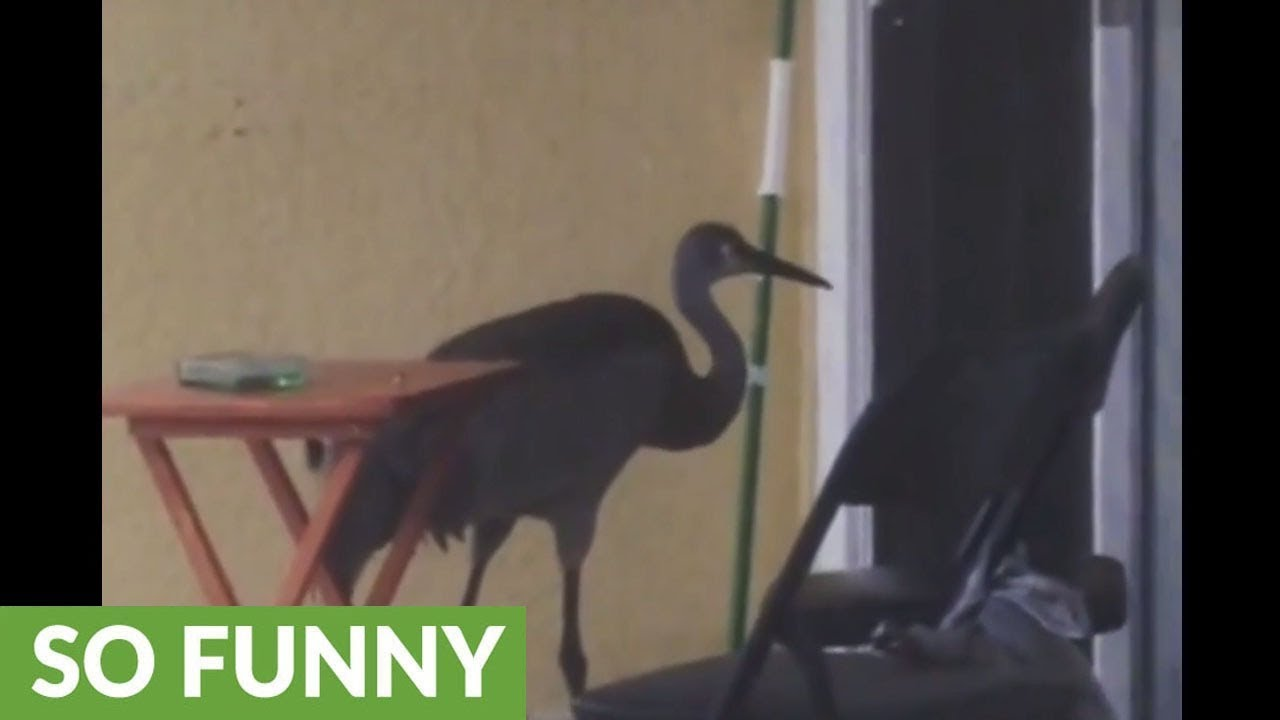 Sandhill Crane Walking Right In Front >> Sandhill Crane Comes Right To Front Door For Food Youtube