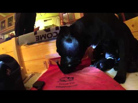 Freya's Puppies  - Day 1 - Staffordshire Bull Terriers
