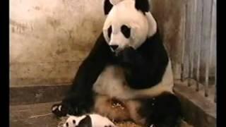 Panda hắt xì