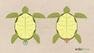 How to Tell If a Turtle Is Male or Female
