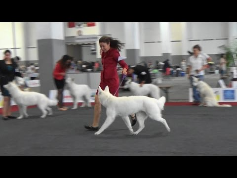 European Dog Show 2016 Brussels. Berger Blanc Suisse
