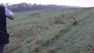 щенки Бельгийской Малинуа(, 2016-01-21T13:17:26.000Z)