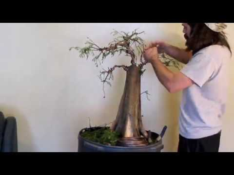 Bonsai Shuffle Flat Top Style Bonsai Wiring Bonsai Hunters Bonsai Baldcypress Yamadori Youtube