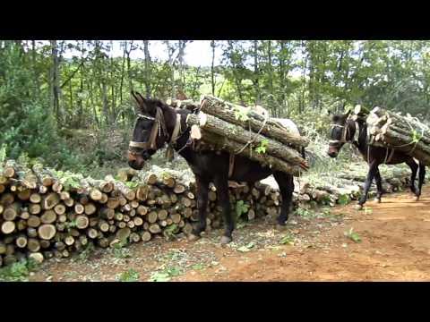 Mules carrying Wood in forest-Μουλάρια μεταφέρουν Ξύλα στο δάσος