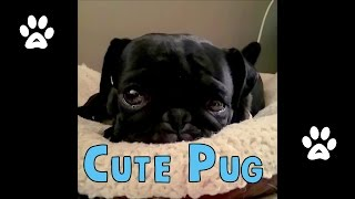 Cute Pug Wagging Its Tail In Its Dog Bed | Nao The Pug