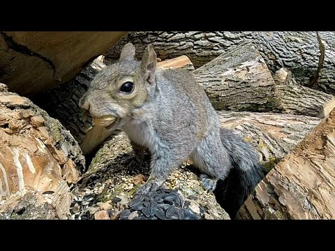 Avengers For CATS and Dogs - Cute Squirrels on a LOG - Ultimate 8 Hour Entertainment Video For Pets