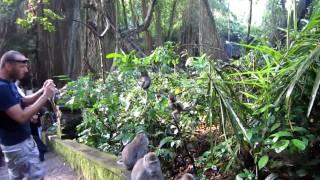 Ubud Monkey Forest - Baby climbing (Bali, Indonesia) [HD video]