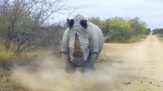 видео: НОСОРОГ ПРОТИВ бегемота, льва, слона, буйвола, кабана и даже динозавра! Носорог в ДЕЛЕ!