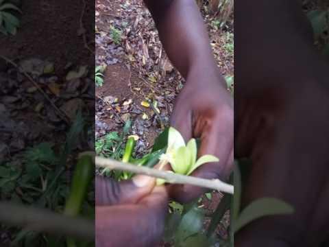 Vanilla pollination....