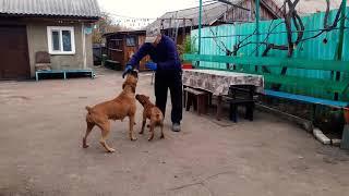 Boxer Puppy and Boxer Dog. Немецкие боксеры нападают. Щенок боксера 3.5 месяца.