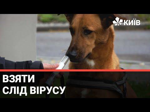 Телеканал Київ: Шукати коронавірус по запаху: собак навчають визначати інфекцію - випуск Тижневик за 19.00