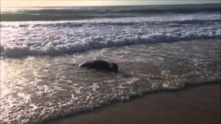 Mon été en mode écolo. Les phoques gris et phoques veaux marins sont de retour en France. Qui sont-ils ?
