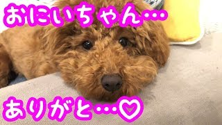 【トイプードル】不器用な先住犬の行動に感動・・・