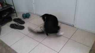 Parker the Tuxedo Cat in a tailspin