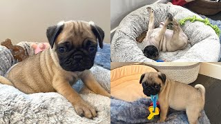 Pug Puppy's First Day In His New Home